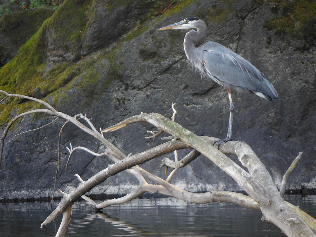Great Blue Heron on the Russian River